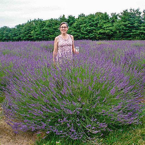 Phenomenal® Lavender
