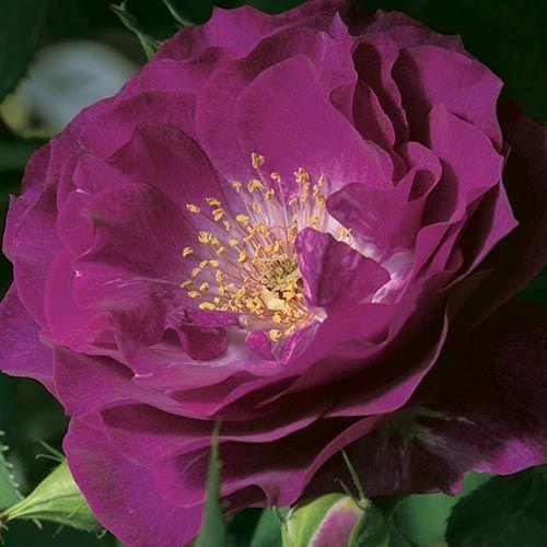 Wild Blue Yonder™ Grandiflora Rose
