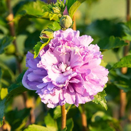 Blueberry Smoothie™ Hibiscus