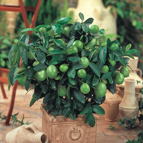 Key Lime Citrus Tree