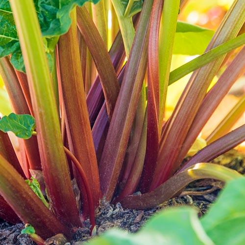 Glaskin's Purpetual Rhubarb