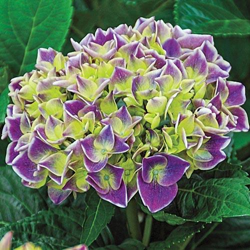 Violet Crown Hydrangea