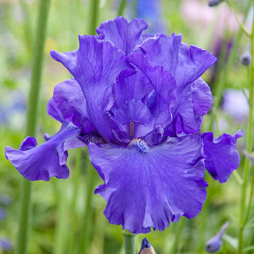 Blueberry Bliss Bearded Iris
