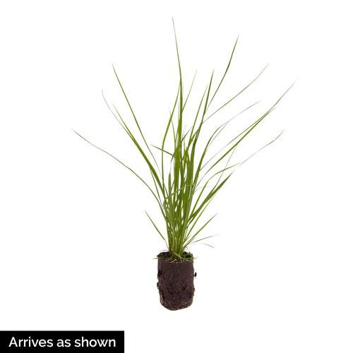 White Pampas Grass