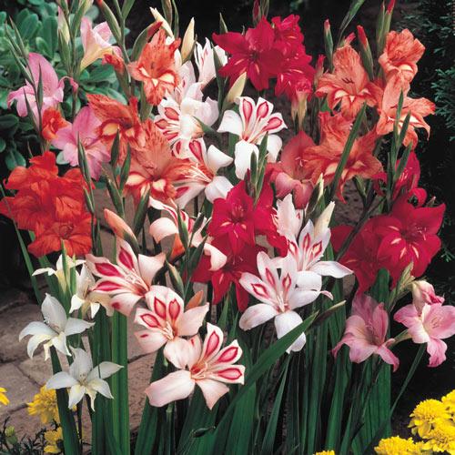 Hardy Gladiolus Mix