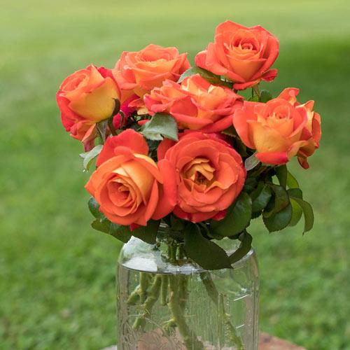 Burst of Joy™ Floribunda Rose
