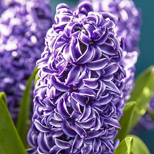 Rembrandt Hyacinth