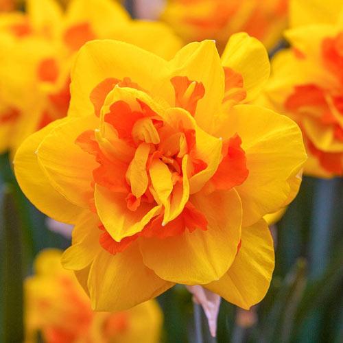 Le Torch Daffodil