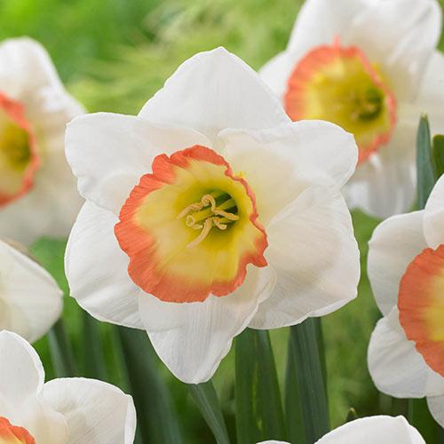 Night Cap Daffodil