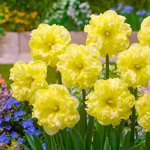 Sunny Side Up Daffodil
