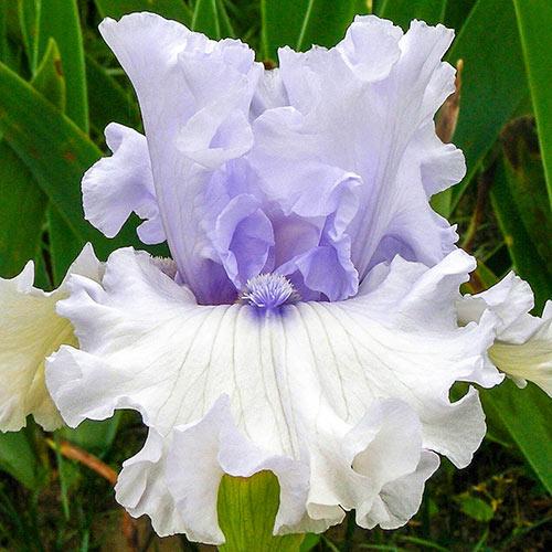 Heavenly Valley German Iris