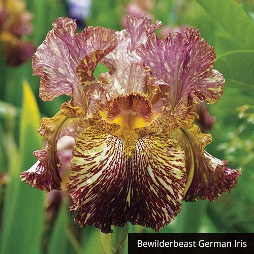 Tie-Dye Iris Collection
