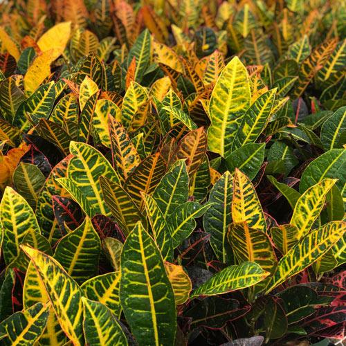 Petra Croton