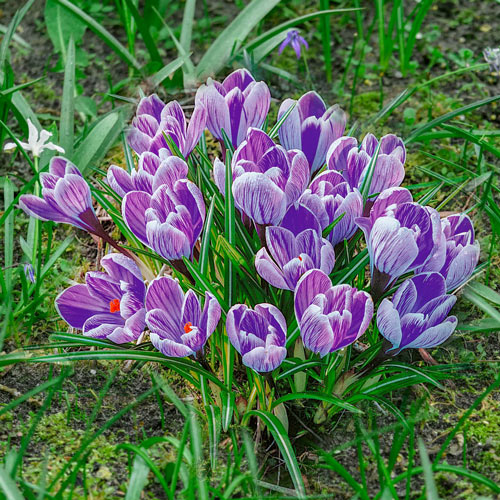 King of the Striped Crocus