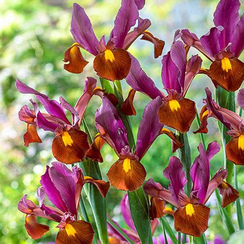 Red Ember Dutch Iris