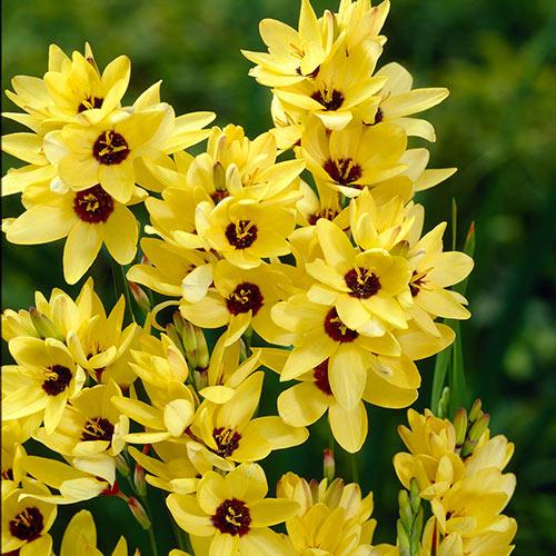 Yellow Emperor Ixia