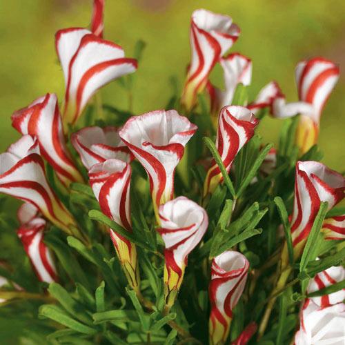 Candycane Oxalis