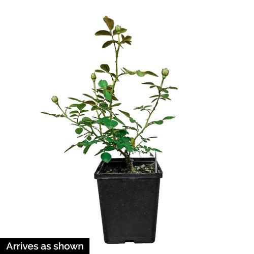 Chihuly® Floribunda Rose