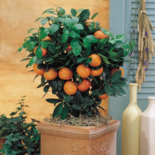 Calamondin Orange Citrus Tree