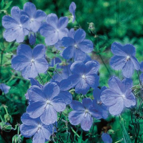 Blue Fusion Everblooming Hardy Geranium