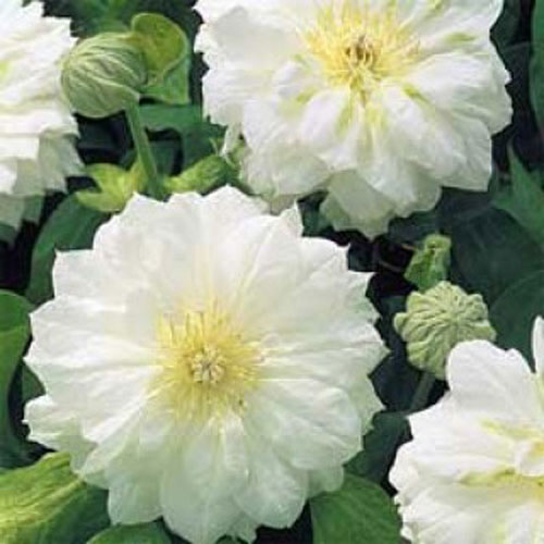 Duchess Of Edinburgh Clematis