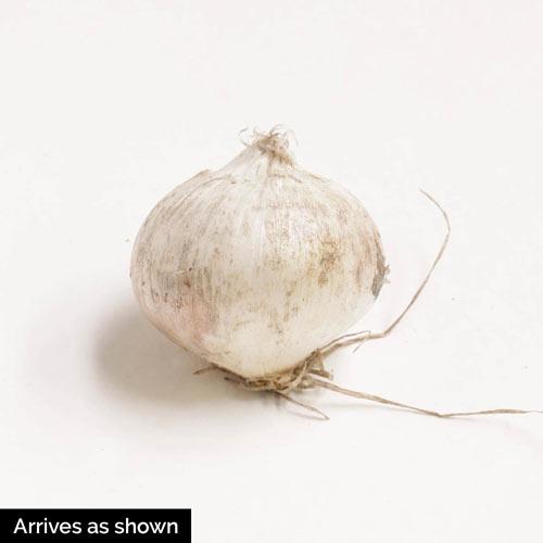 Giant Mixed Allium Super Bag