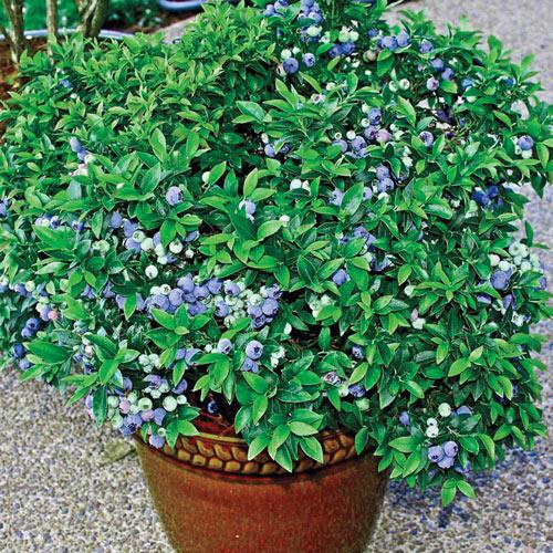 Blueberry Dwarf Tophat