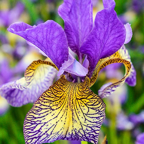Pennywhistle Siberian Iris