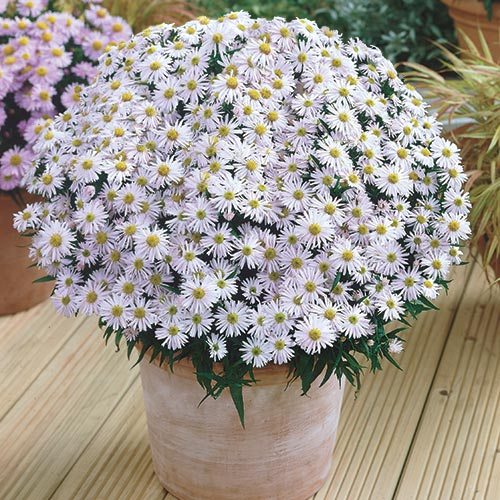 Snow Flurry Aster