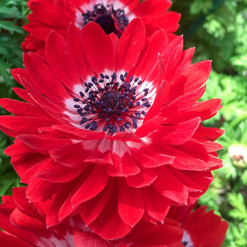 The Governor Double Red Anemone