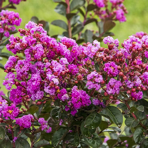 Northern Belle Hardy Fuchsia Crape Myrtle