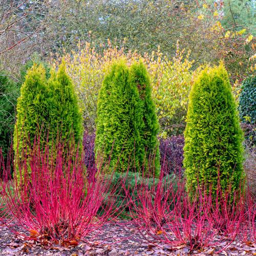 Cardinal Red Twig Dogwood Hedge