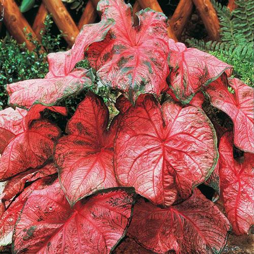 Rosy Leaf Caladium