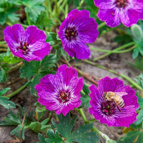 Jolly Jewel™ Lilac Geranium