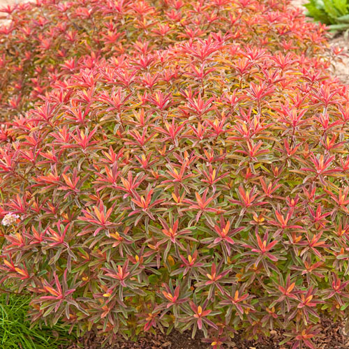 Bonfire Euphorbia
