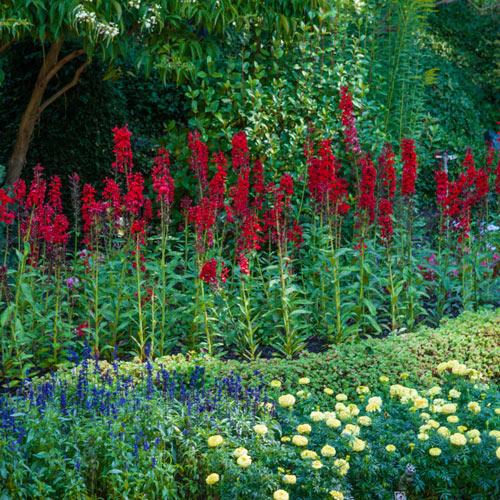Red Cardinal Flower