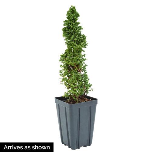 Primo® Arborvitae