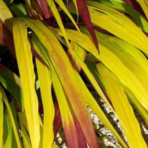 SunFlare™ Japanese Forest Grass