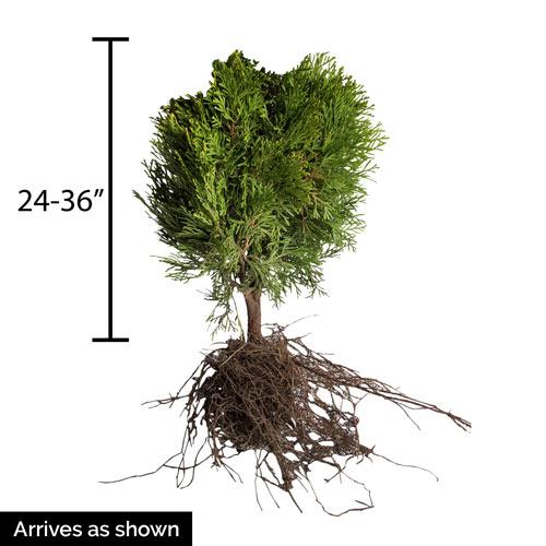 Little Giant Arborvitae Hedge