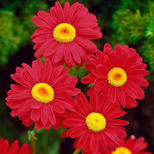Robinson's Red Painted Daisy