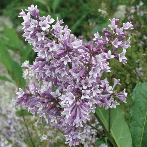 Donald Wyman Lilac Hedge