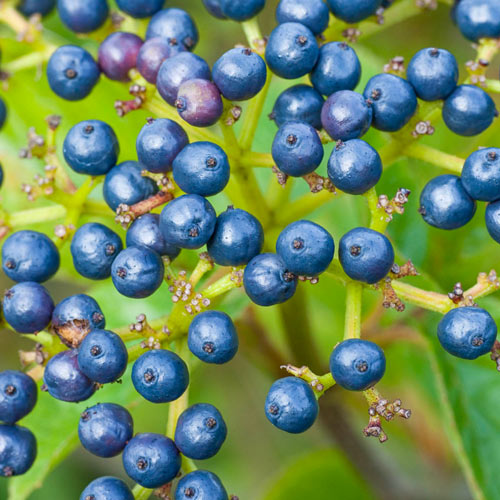 Autumn Jazz Viburnum Hedge