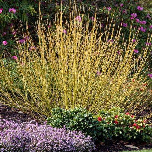 Budd's Yellow Twig Dogwood Hedge