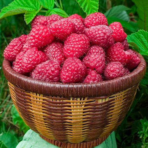 Raspberry Canby