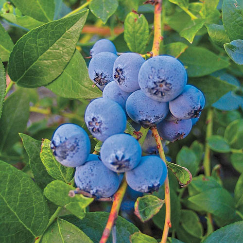 Blueberry Biloxi