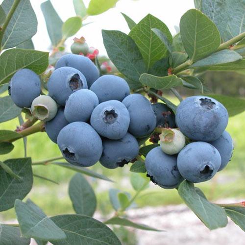 Blueberry Sweetheart