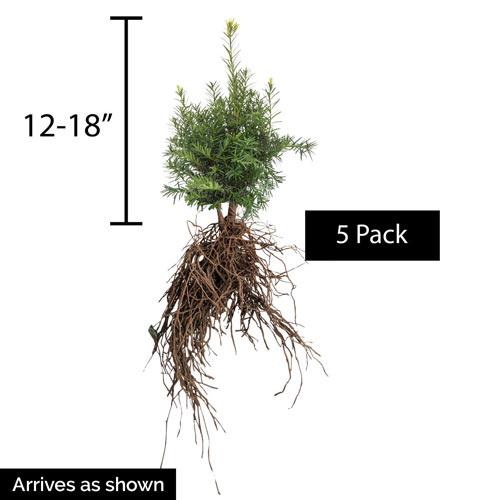 Yew Globe Browni Hedge