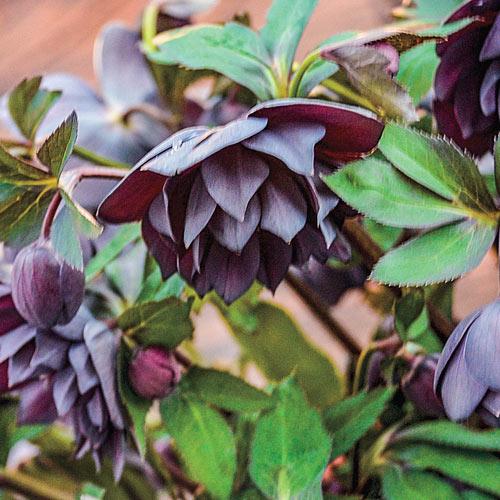 Dashing Groomsmen Lenten Rose