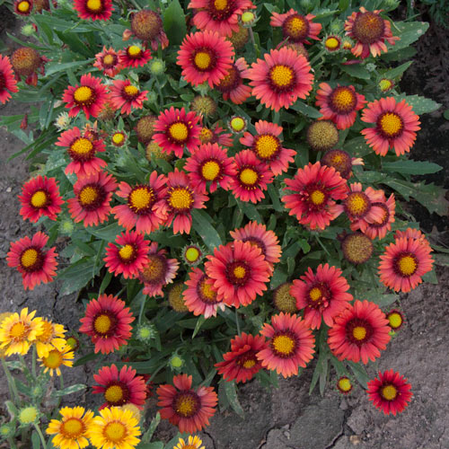 Arizona Red Shades Fiesta Daisy