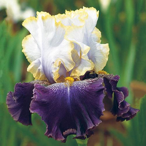 Slovak Prince Bearded Iris